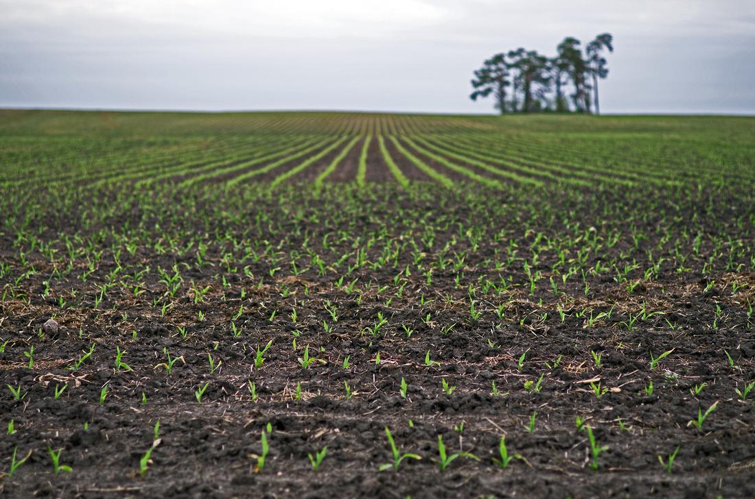 Watching the Corn Grow