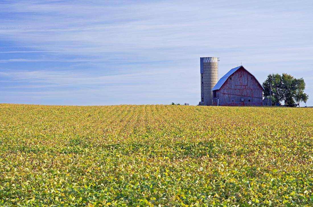 Minnesota Farm Scene Ripening Soybeans