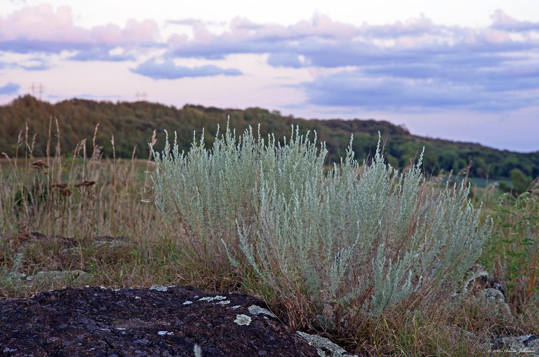 Minnesota Sagebrush