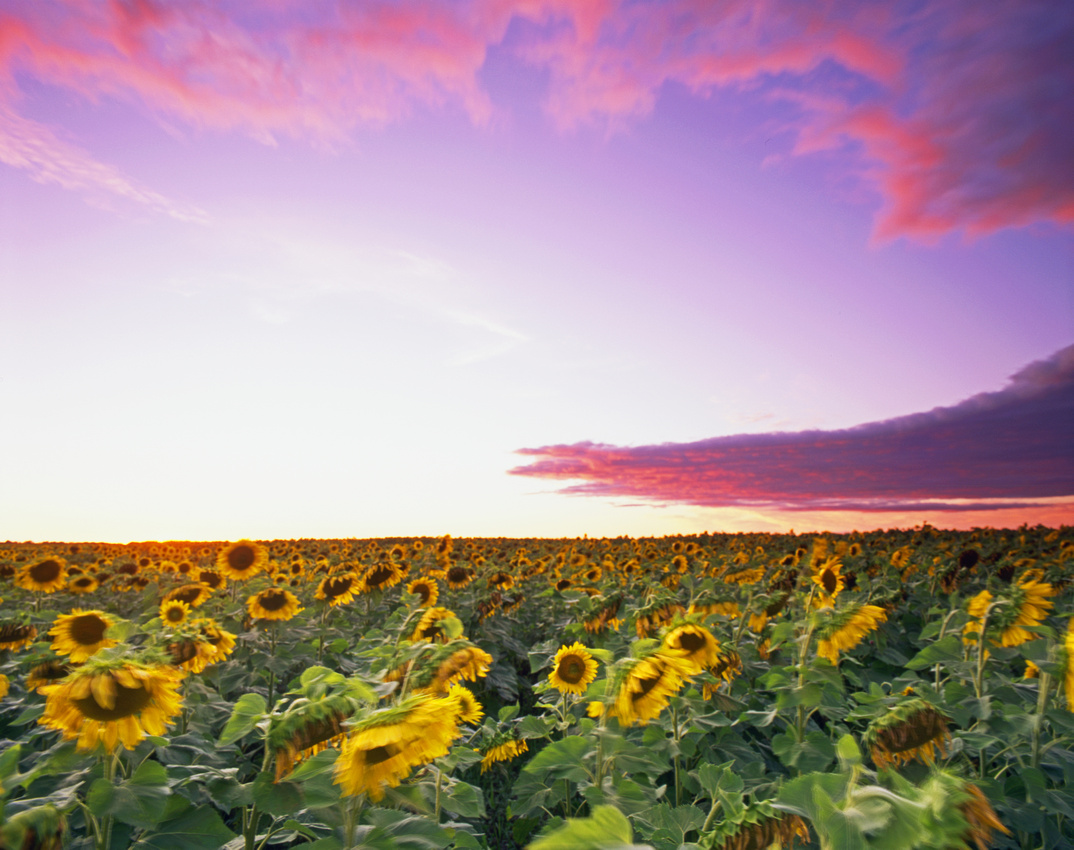 Minnesota Sunflower Field
