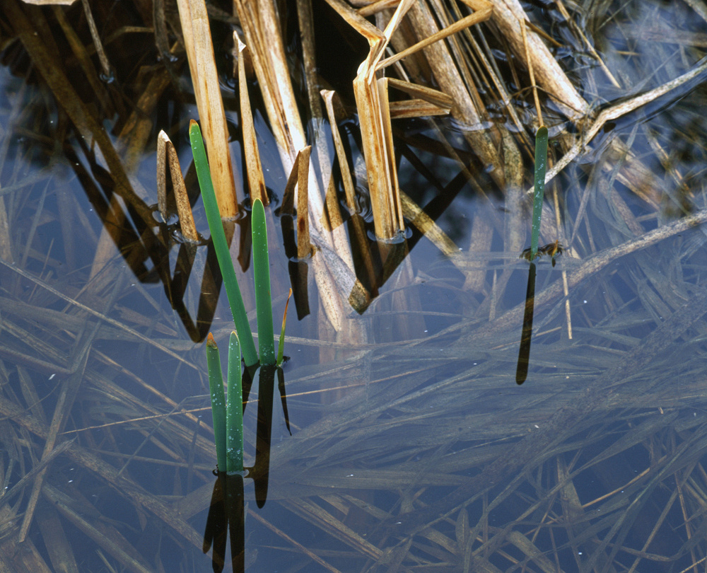 Lake Rebecca Cattails