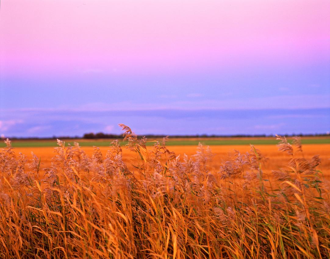 Roseau Wheat