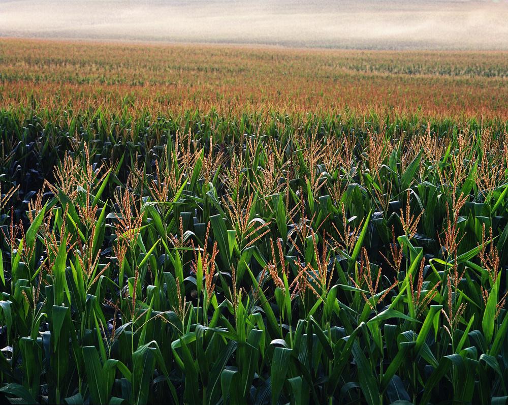 Endless Corn
