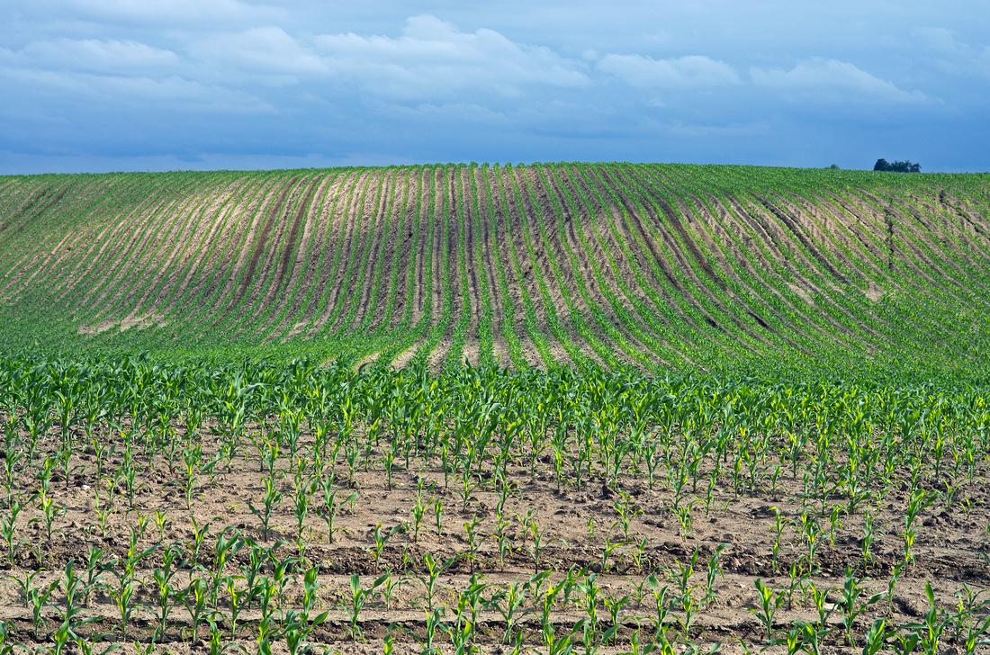 Dassel Corn